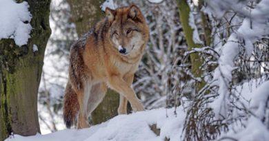 В 2019 году в Кировской области добыли 232 волка