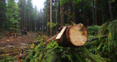 В Лузском районе возбуждено уголовное дело по факту незаконной рубки леса